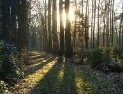 Schattenwurf durch eine Hecke aus 70 Fichtenbäumen